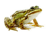 Rana esculenta. Green (European or water) frog on white backgrou