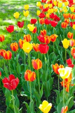 red, orange and yellow tulips