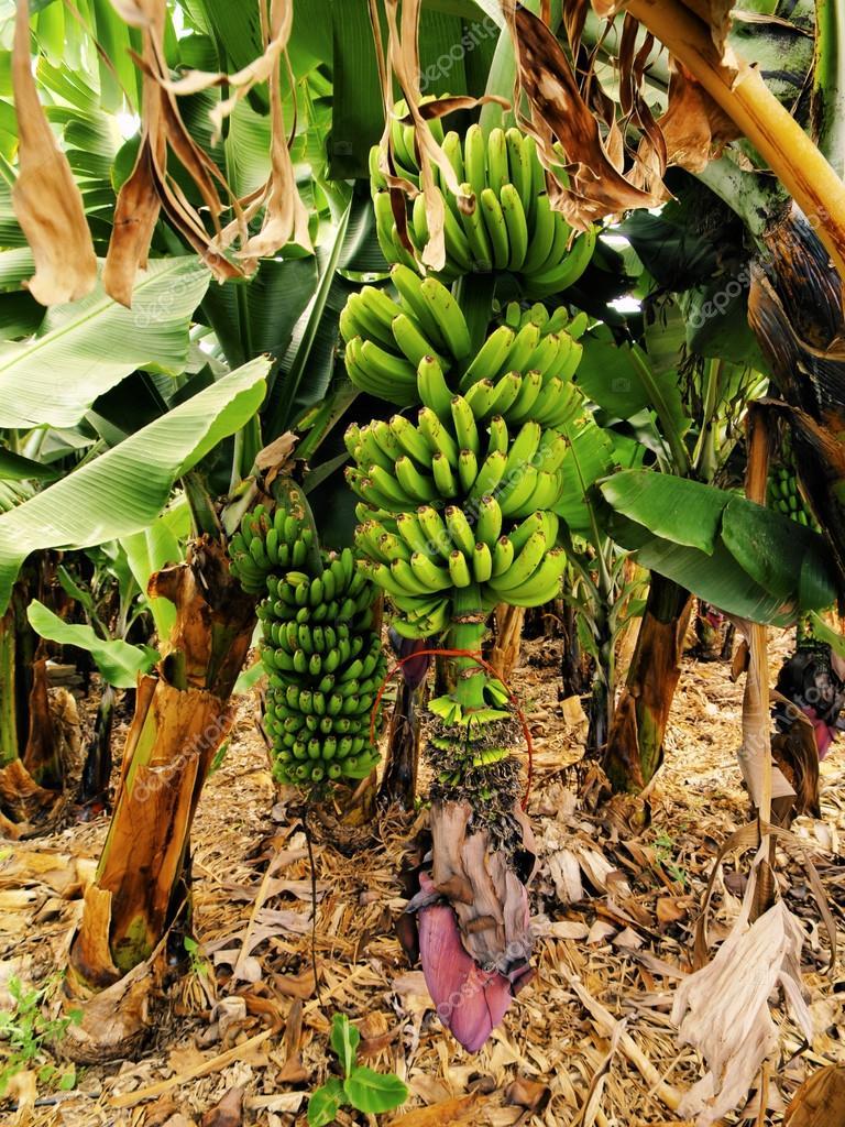 Banana Tree, Hierro, Canary Islands, Spain