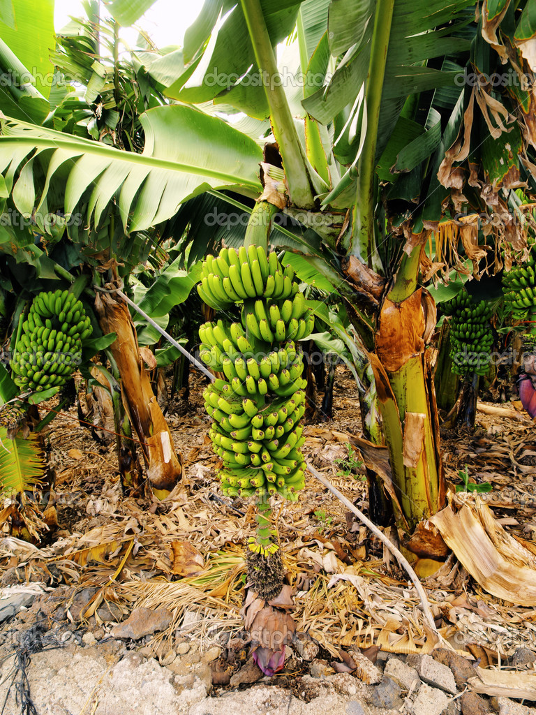 Banana Tree, Hierro, Canary Islands, Spain