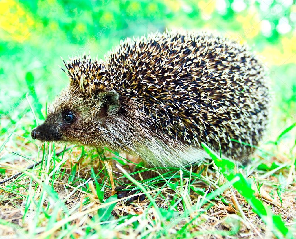Hedgehog in nature