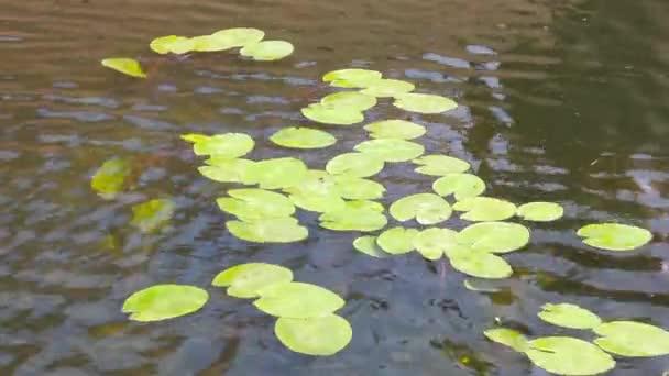 Lily podložky plovoucí v rybníku