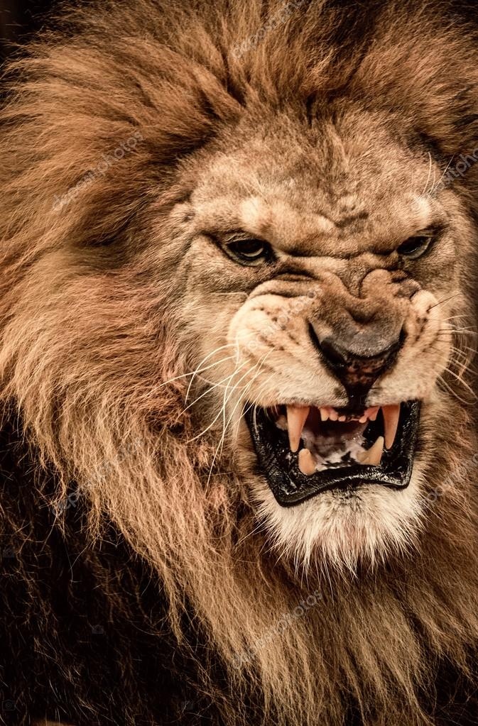 lion close up roaring