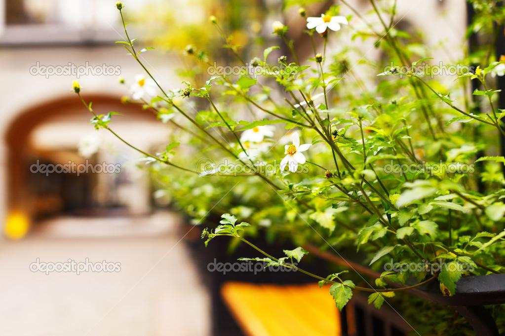 Camomile bush on the street