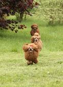 Fotografie Glückliche Pudel rennen umeinander