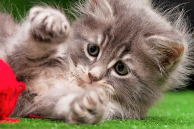 Cute gray kitten