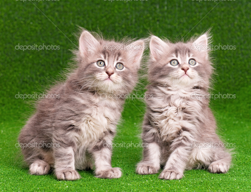 Cute gray kittens — Stock © DenisNata
