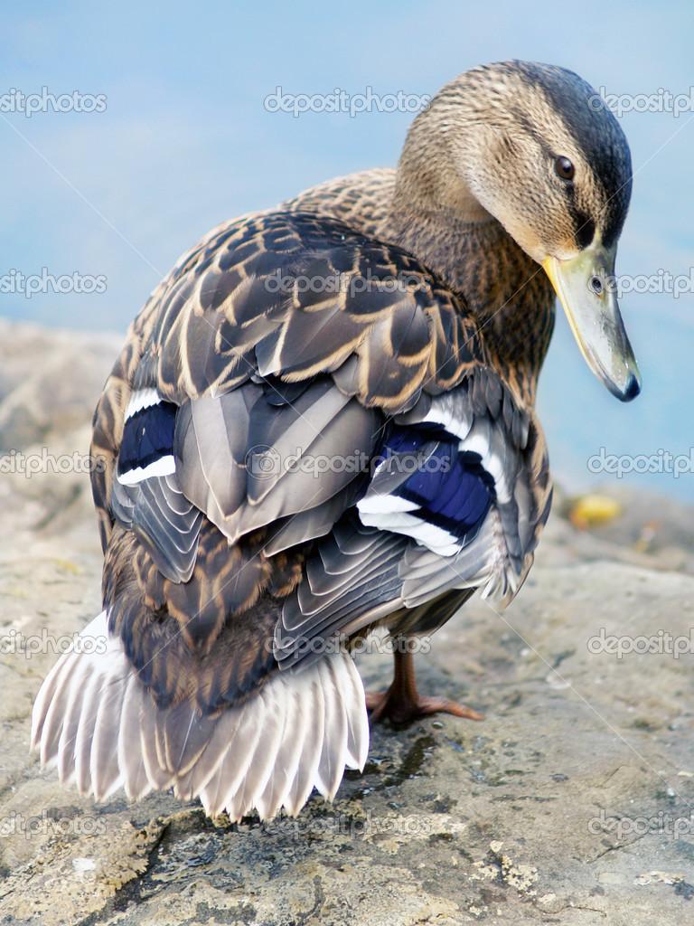 Pictures Female Mallard Female Mallard Duck Stock Photo C Jareso 22351105