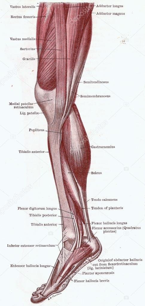 dissectie van het been — Stockfoto © cascoly #12740162