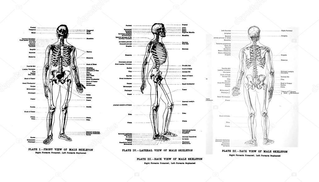 3 Ansichten des menschlichen Skeletts, full frontal, seitlich und ...
