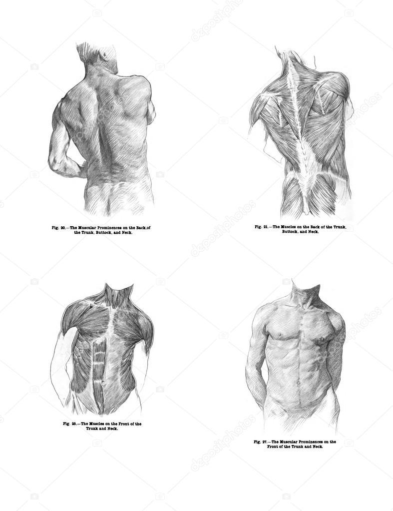 4 opiniones de los músculos de la espalda humanos y el torso — Foto ...