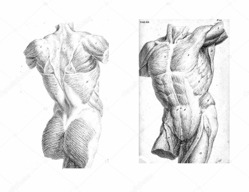 dos vistas del torso humano, músculos y órganos internos — Foto de ...