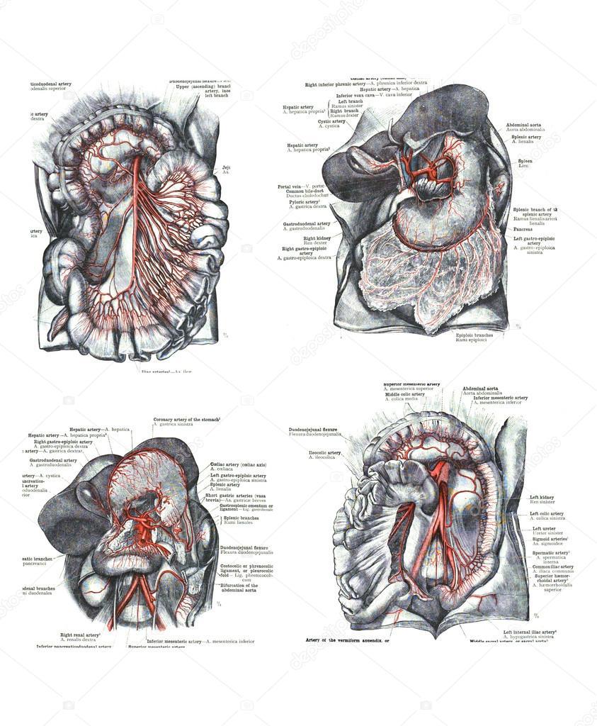 vier Ansichten des menschlichen Oberkörper, Muskeln und inneren ...
