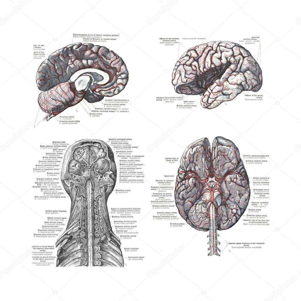 vier Ansichten des menschlichen Gehirns — Stockfoto © cascoly #12741581
