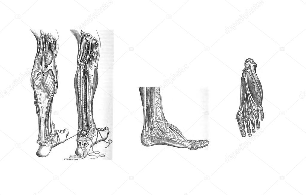partes de la pierna humano
