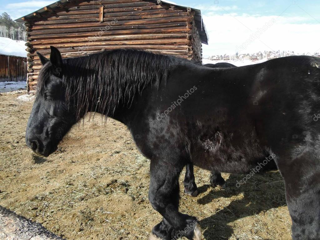 Large Black Draft Horse Stock Photo C Cascoly 13320143