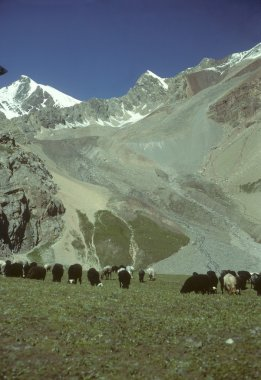Marco Polo sheep grazing on flat steppes
