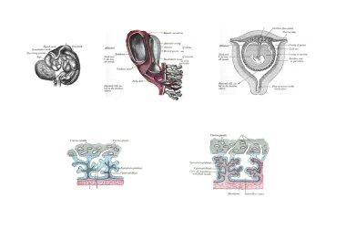 Anatomy of the uterus