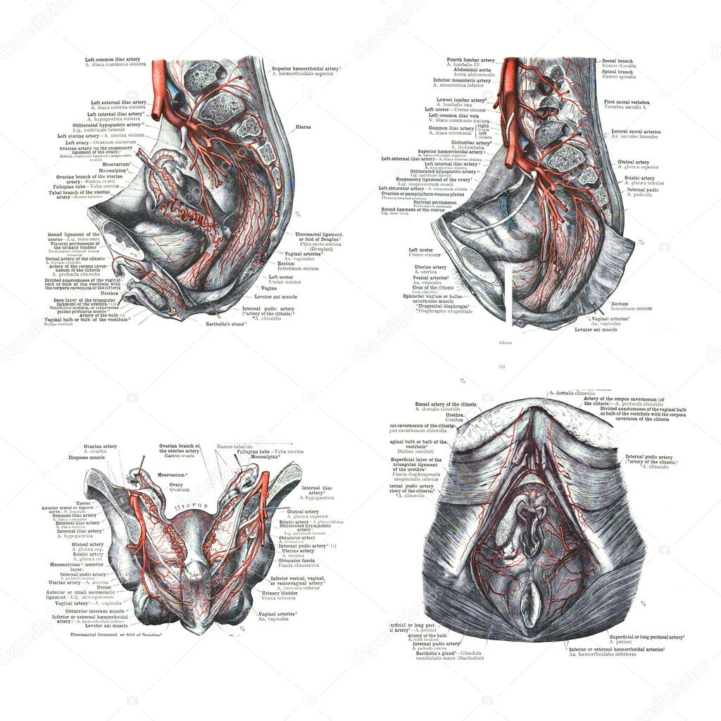 4 views of female human sexual organs