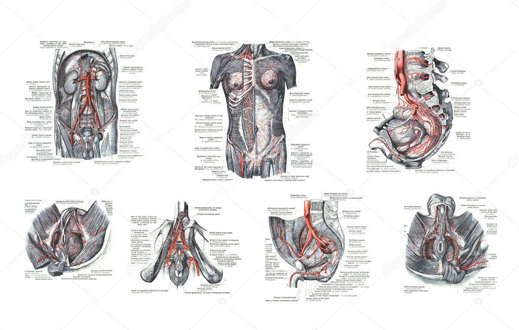 7 opiniones de órganos sexuales masculinos humanos — Fotos de Stock ...