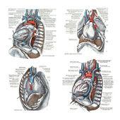 4 viste del cuore e della cavità toracica,