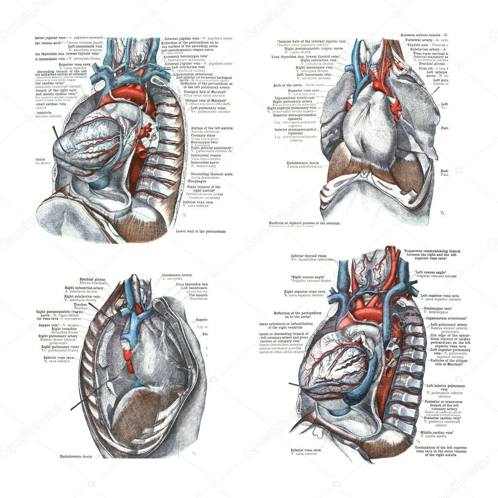 4 views of the heart and thoracic cavity, — Stock Photo © cascoly ...