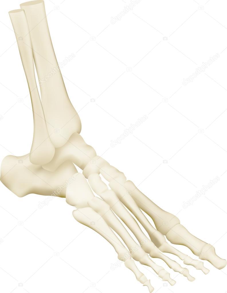 Anatomía de los huesos de pie humano — Archivo Imágenes Vectoriales ...