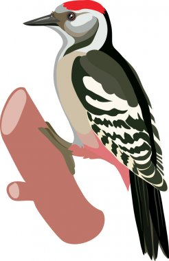 Woodpecker bird drawn
