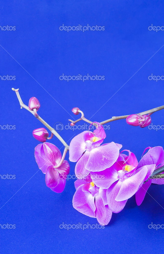 flowers of pink orchid on a blue background