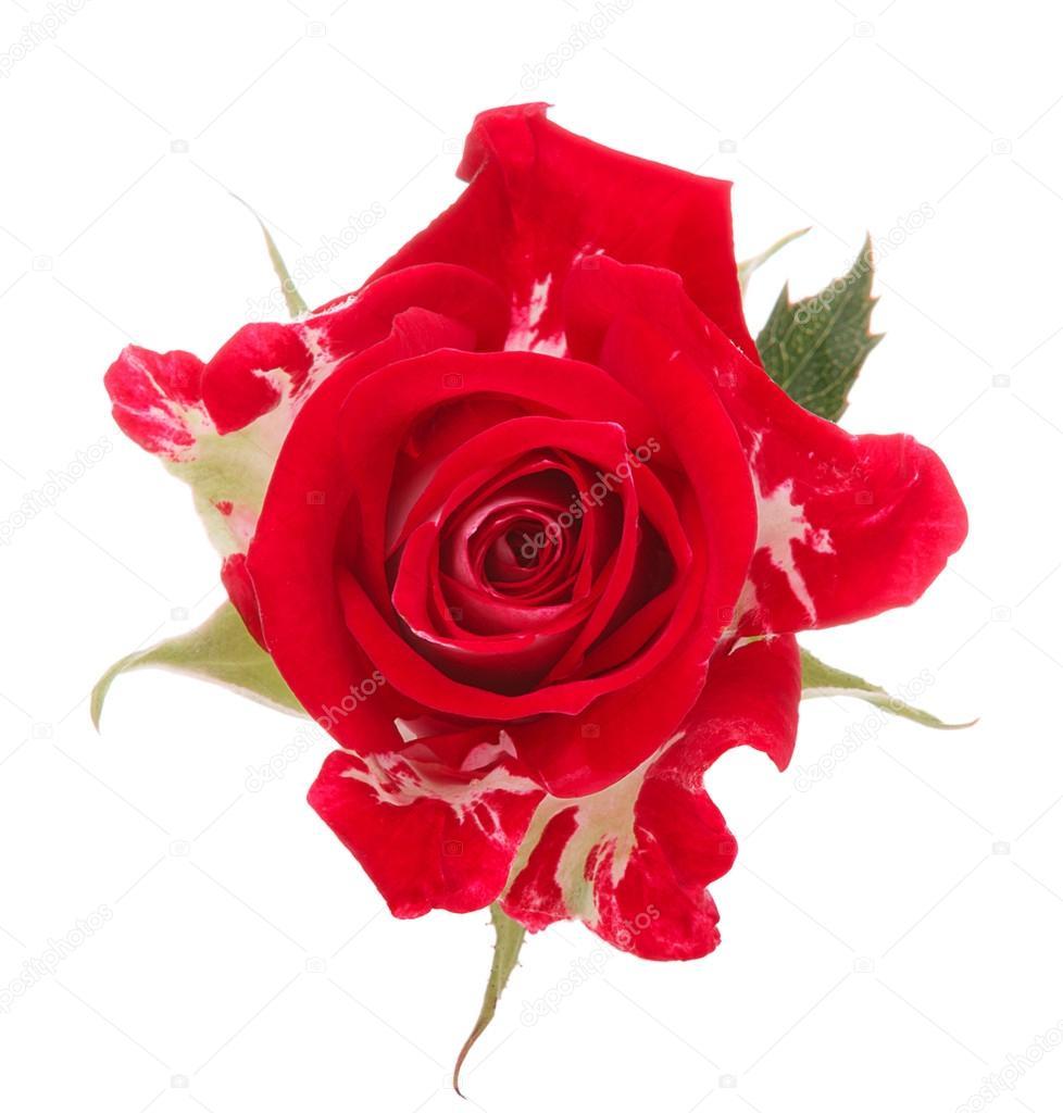 Tete De Fleur Rose Rouge Photographie Natika C 43546749