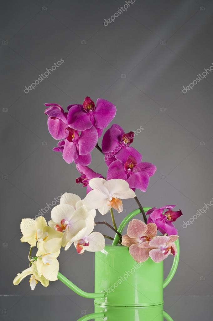 Multicolor phalaenopsis orchid flowers in a watering can