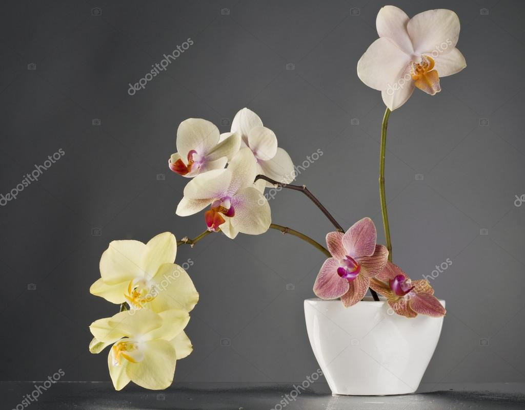 Multicolor phalaenopsis orchid flowers in a white vase