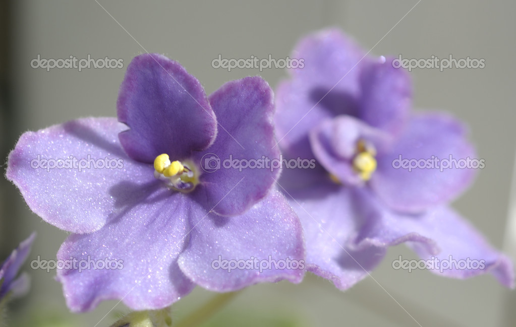 Beautiful violet flowers