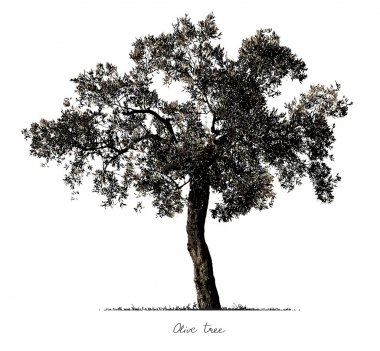 Olive Tree silhouette. Vector. stock vector