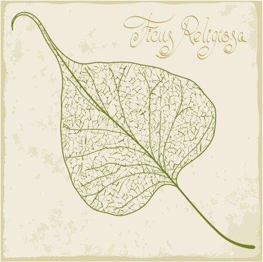 Banyan leaf skeleton.