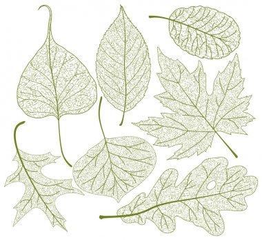 Leaf skeletons vector set.