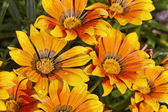 Gazania splendens, Treasure flower in Germany