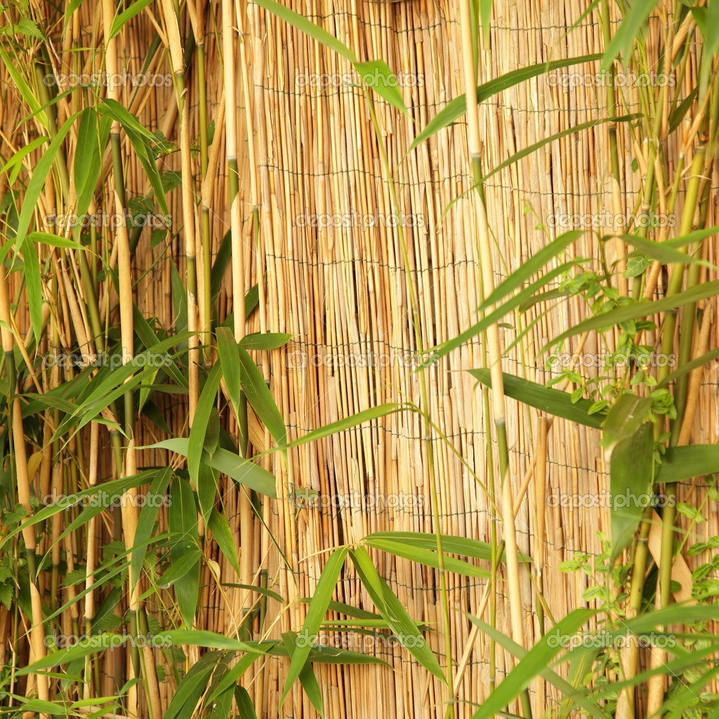 Fresh ornamental bamboo with a bamboo fence — Stock Photo