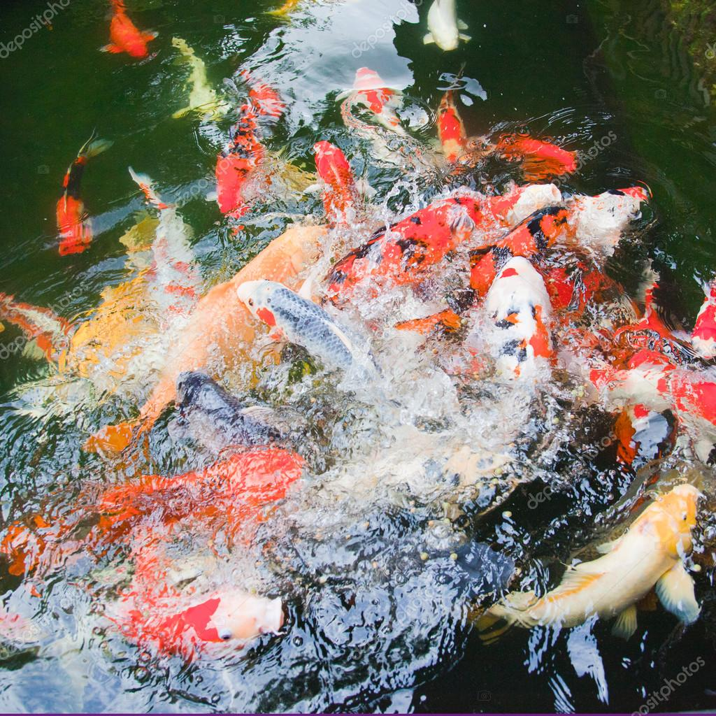 peces dorados y koi peces nadando en un estanque u fotos de stock