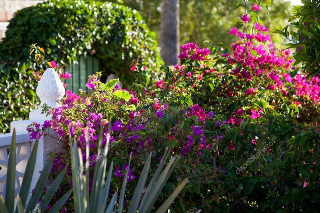 Bougainvilliers fleurs dans un jardin tropical photo for Jardin tropical guadeloupe