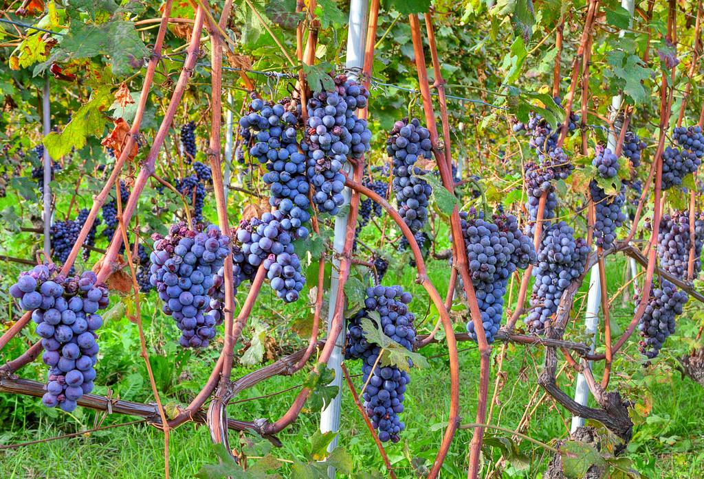 Grapes before harvesting. Piedmont, Italy.