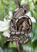 Fotografia serpente pitone reale