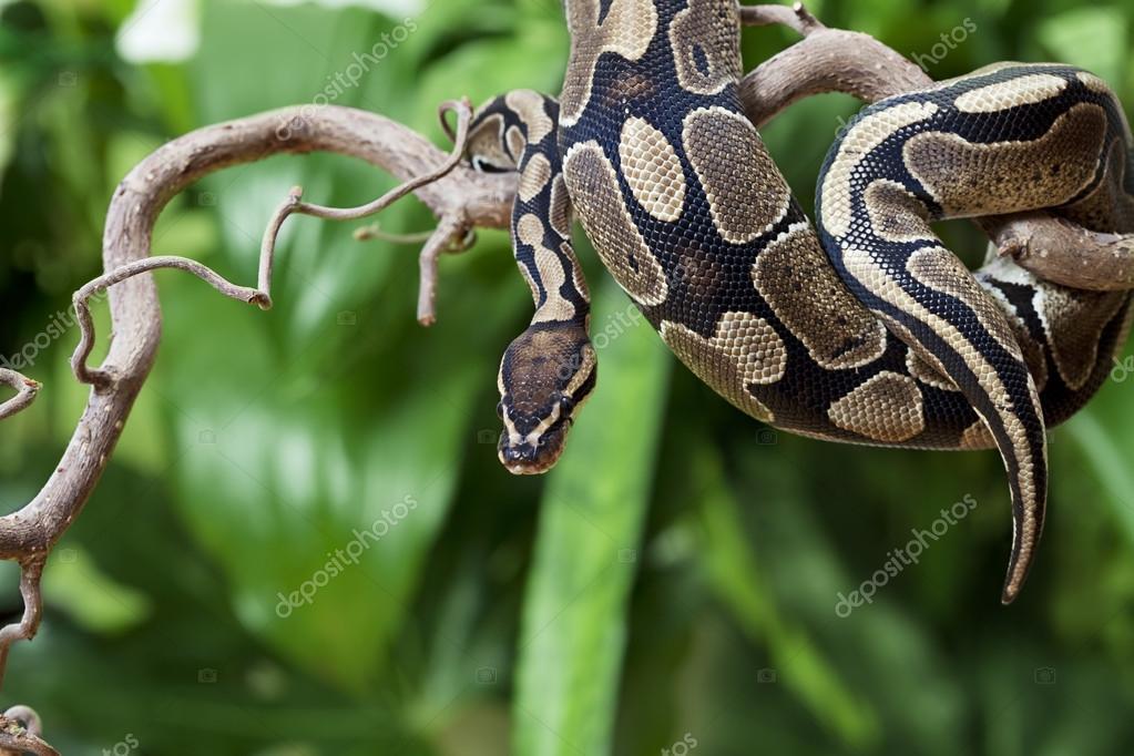 Royal Python snake on a wooden branch