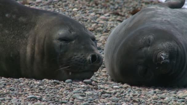 Paar Seehunde
