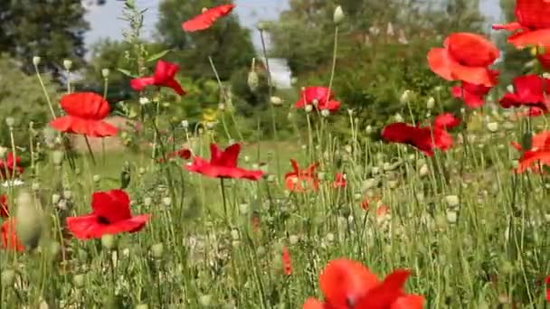 Meadow of blooming poppies. Dolly