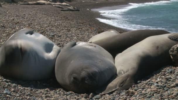 Seal rookery on coastline of Atlantic Ocean. Patagonia, Argentina