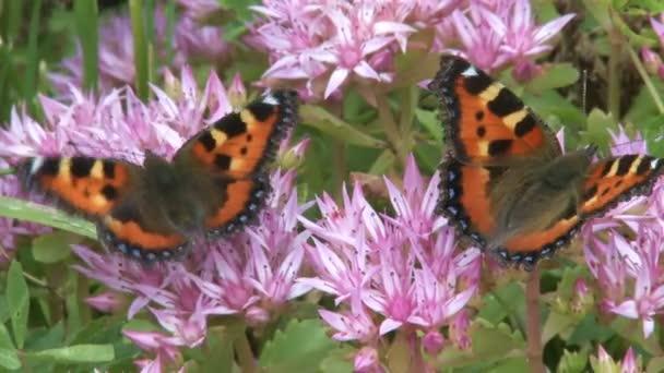 closeup dvou motýlů na růžový květ