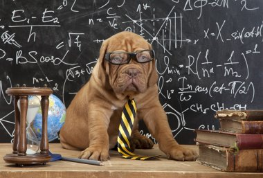 French Mastiff puppy in glasses with books