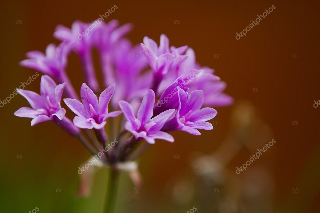 Wild Garlic Purple Flower (Allium Tulbaghia Violacea)