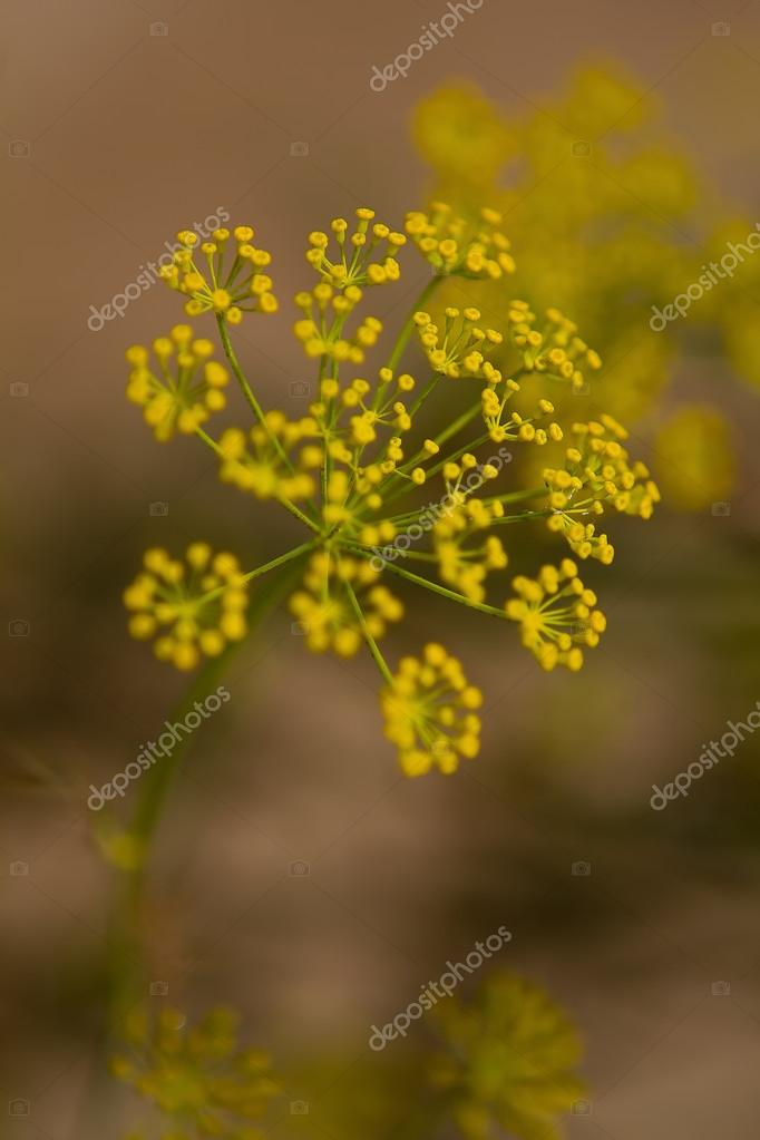 Dill (Anethum graveolens) or Lao coriander